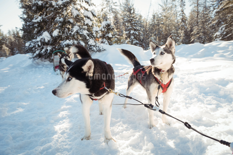 Siberian husky dogs waiting for the sledge rideの写真素材 [FYI02235278]