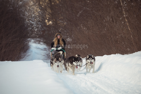 Siberian dog pulling sleigh carrying womanの写真素材 [FYI02235295]
