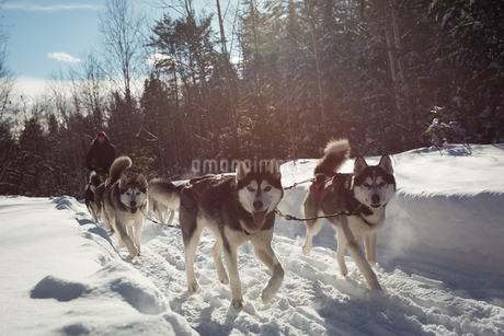 Siberian dog pulling sleigh carrying manの写真素材 [FYI02235296]