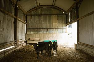 Cattle in barnの写真素材 [FYI02239986]