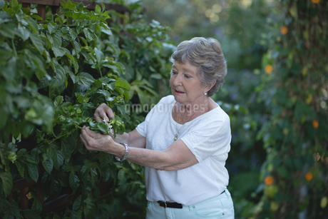 Senior woman picking flower from treeの写真素材 [FYI02240550]