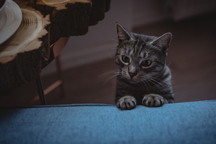 Curious pet cat leaning on the sofaの写真素材 [FYI02241452]