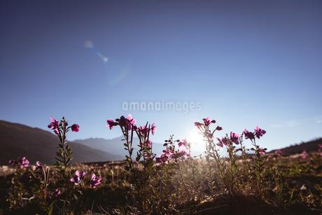 Flowers field in countrysideの写真素材 [FYI02241574]