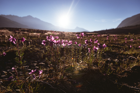 Flowers field in countrysideの写真素材 [FYI02241766]