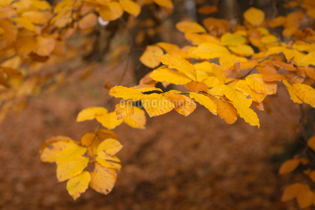 Autumn leaves in the parkの写真素材 [FYI02242203]