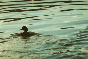 Duck swimming in a lakeの写真素材 [FYI02242569]