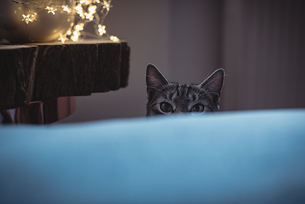 Curious pet cat peeking over the sofaの写真素材 [FYI02242660]