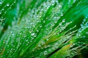 若草の水滴の写真素材 [FYI02243323]