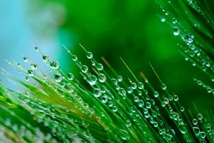 若草の水滴の写真素材 [FYI02243455]