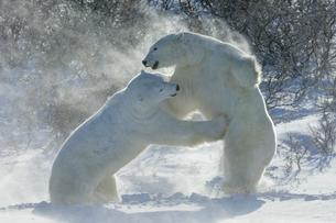 Polar bears in the wild, two animals fightingの写真素材 [FYI02243854]