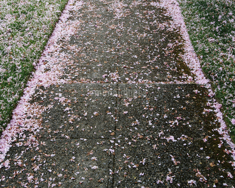 Pink fallen cherry blossom petals blown across sidewalkの写真素材 [FYI02244487]