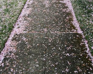 Pink fallen cherry blossom petals blown across sidewalkの写真素材 [FYI02244487]