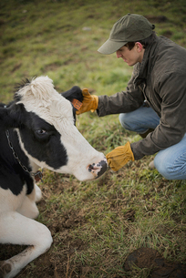 Farmer working and tending to the animals on an organic farmの写真素材 [FYI02244524]
