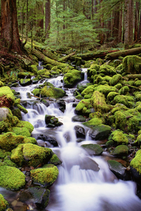 A stream flowing over mossy rocks in Olympic National Parkの写真素材 [FYI02244617]