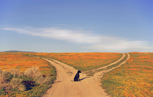 A black Labrador retriever dog sitting at a fork in the roadの写真素材 [FYI02244789]