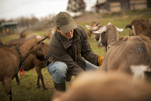 Farmer working and tending to the animals on an organic farmの写真素材 [FYI02244985]