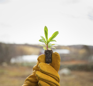 A gloved hand holding a small new seedlingの写真素材 [FYI02245459]