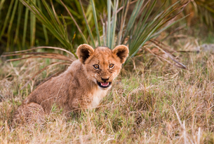 African lion cub, Botswanaの写真素材 [FYI02245973]