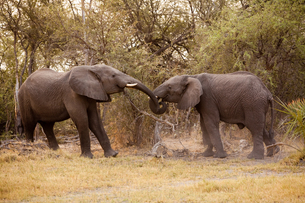 African elephants, Chobe National Park, Botswanaの写真素材 [FYI02246023]