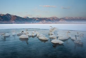 Cygnus cygnus, Whooper swans, on a frozen lake in Hokkaido.の写真素材 [FYI02246044]