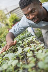 An organic farm and garden. A man checking seedlings.の写真素材 [FYI02246084]