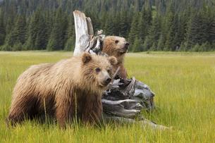 Brown bears, Lake Clark National Park, Alaska, USAの写真素材 [FYI02246105]