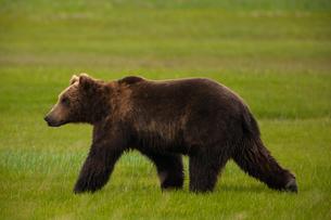 Brown bears, Katmai National Park, Alaska, USAの写真素材 [FYI02246188]