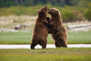 Brown bears, Katmai National Park, Alaska, USAの写真素材 [FYI02246190]