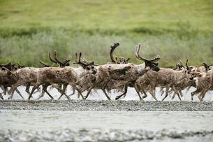Caribou, Arctic National Wildlife Refuge, Alaska, USAの写真素材 [FYI02246224]