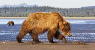 Brown bears, Lake Clark National Park, Alaska, USAの写真素材 [FYI02246263]