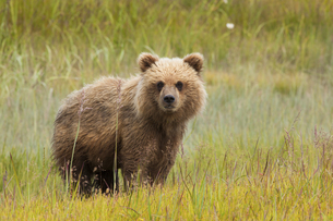 Brown bear, Lake Clark National Park, Alaska, USAの写真素材 [FYI02246294]