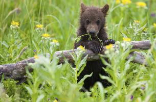 Brown bear cub, Lake Clark National Park, Alaska, USAの写真素材 [FYI02246310]