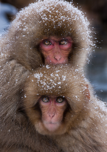 Japanese Macaques, Japanese Alps, Honshu Island, Japanの写真素材 [FYI02246366]