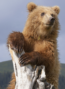 Brown bear, Lake Clark National Park, Alaska, USAの写真素材 [FYI02246392]