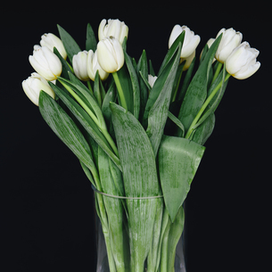 White tulips in a vase, against a black backgroundの写真素材 [FYI02246426]