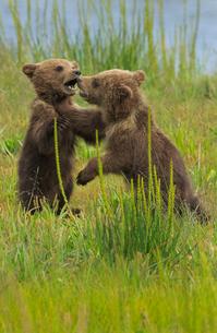 Brown bear cubs, Lake Clark National Park, Alaska, USAの写真素材 [FYI02246469]
