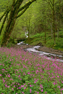 Wahkeena Falls Pink spring wild flowers in Oregon.の写真素材 [FYI02246490]