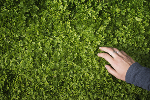 A woman's hand stroking green foliage of a growing plant.の写真素材 [FYI02246497]