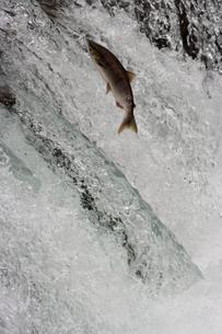 Salmon swimming upstream, Katmai National Park, Alaska, USAの写真素材 [FYI02246532]