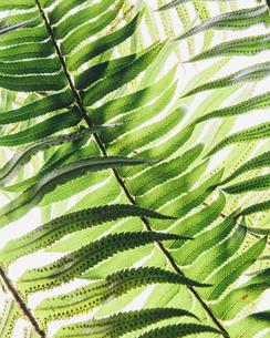 Western sword fern, a single leaf, Polystichum munitum.の写真素材 [FYI02246541]