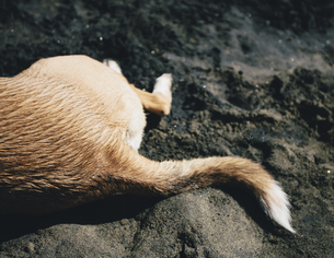 Mixed breed dog on beach, Discovery Park, Seattleの写真素材 [FYI02246572]