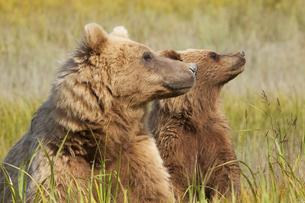 Brown bears, Lake Clark National Park, Alaska, USAの写真素材 [FYI02246623]