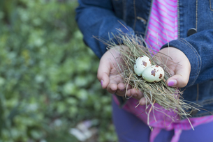 A girl holding out cupped hands, twigs and two bird's eggs.の写真素材 [FYI02246633]