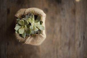 A small succulent plant in a container on a dining table.の写真素材 [FYI02246652]