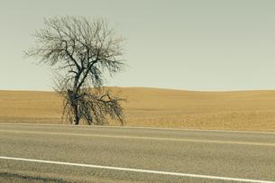 A Cottonwood tree at the roadsideの写真素材 [FYI02246676]