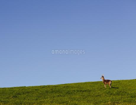 Black-tailed deer on a grassy hillsideの写真素材 [FYI02246702]