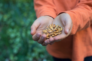A young boy holding out a handful of dried pulses.の写真素材 [FYI02246761]