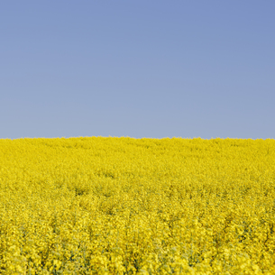 Field of blooming mustard seed plants flowering in Springの写真素材 [FYI02246788]