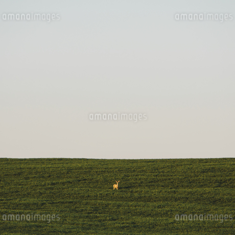 A startled white tail deer in a field of green wheat cropの写真素材 [FYI02246797]