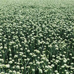 Large crop of blooming Walla Walla Sweet Onions, near Quincyの写真素材 [FYI02246799]